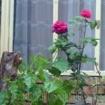 интересни рози