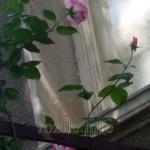 Сезона на розите