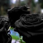 черна роза