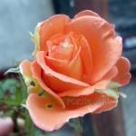 Есенна роза
