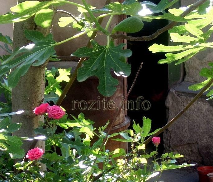 рози под смокинята