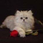 Котки и рози
