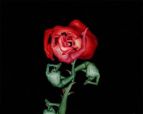 странна роза