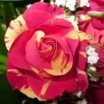 Пъстри рози