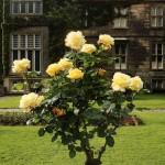 хрост с рози