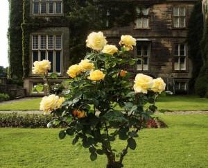 храст с рози