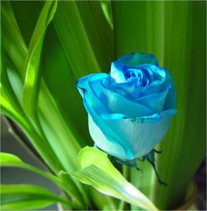 Синята роза, приказка